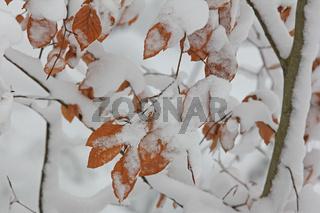 Buchenlaub mit Schnee
