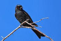 fork-tailed drongo, Etosha NP, Namibia