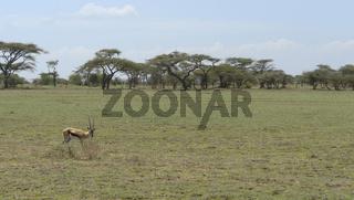 Gazelle in the savannah
