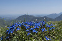 Spring gentian on sunny mountain meadow