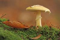Gemmed mushroom (Amanita gemmata)