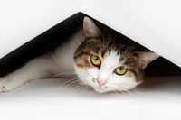 Cute white cat looking out of cardboard box at home, closeup
