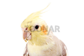 Beautiful parrot with gray yellow painting
