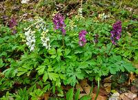 hollowroot-birthwort, purple and white variant,