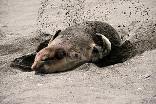 See- Elefant auf Suedgeorgien