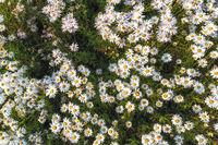 Chrysanthemum zawadskii latilobum