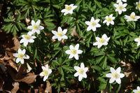 Anemone nemorosa, windflower