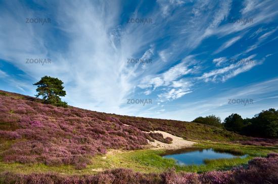 dunes and meadows with flowering Calluna vulgaris