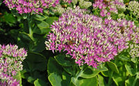 butterfly stone crop, iceplant / ice-plant,  iceplant, ice-plant, live-forever,
