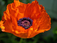 Close up of red flower of Turkish poppy, Papaver orientale