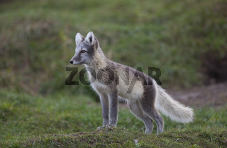 Europaeischer Eisfuchs - White fox - Polar fox - Snow fox
