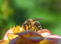 Bee pollinating at a dahlia flower
