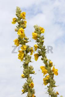 Kleinblütige Königskerze, Verbascum thapsus, Great Mullein