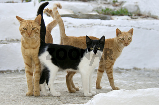 Drei Hauskatzen nebeneinander, Kykladen , three cats side by side , cyclades