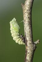 Verpuppung einer Raupe des Schwalbenschwanz Schmetterlings (Papio machaon)