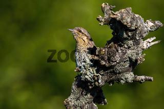 Eurasian wryneck hiding behind a stump in summer nature.