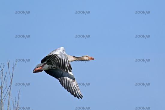 Greylag Goose adult bird in spring