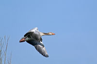 Greylag Goose adult bird in spring
