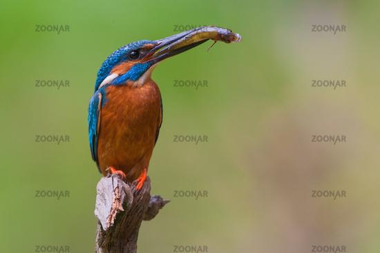 (common) kingfisher [Alcedo atthis]