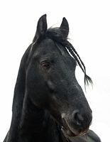 Portrait of a black friesian horse on a white background
