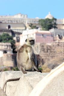 presbytis monkey on fort wall - india