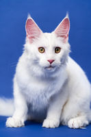 Longhair cat breed American Coon Cat looking at camera, sitting on blue background