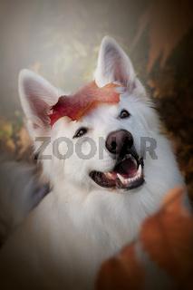 Weisser Schweizer Schäferhund im Herbst lächelt mit einem Blatt auf dem Kopf Portrait