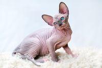 Hairless Canadian Sphynx kitten sitting