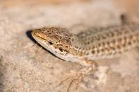 Lizard sunning on a rock