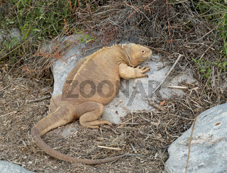 Galapagos land iguana in arid part of islands