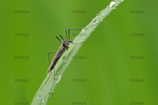 Cranefly on plant leaf