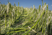 Hagelschaden und Starkregen zerstört Landwirtschaft