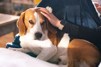 Beagle dog enjoy stroking while lying on sofa at home