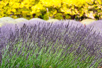 Blooming lavender - Shepherds Flat