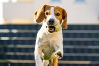 Beagle dog on a grass running through garden