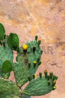 Euphorbia cactus with flowers.
