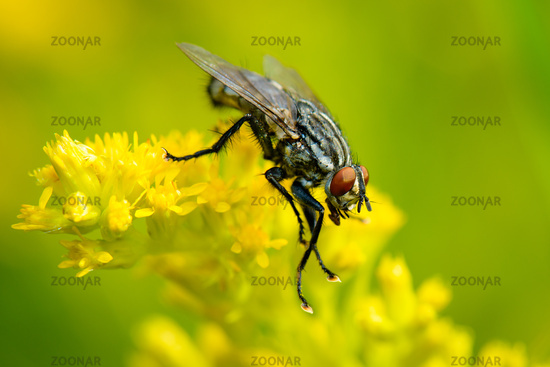 Common Flesh Fly