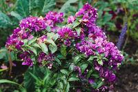 Purple bougainvillea plant