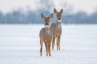Two roe deer in winter