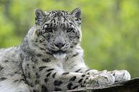 Snow Leopard, Ounce