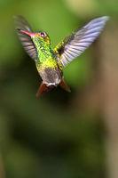 Hummingbird, Tropical Rainforest, Costa Rica