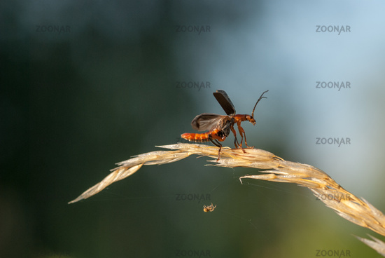 soldier beetle, (Cantharis fusca)