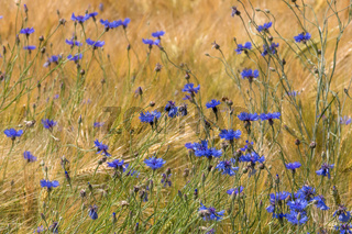 Blüten der Kornblume in einem Gerstenfeld