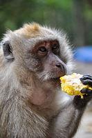 Javaner Ape eating corn on the Monkey Temple in Th