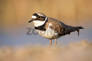 Little ringed plover standing near the riverbank in spring