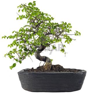 Bonsaibaum Chinesische Ulme