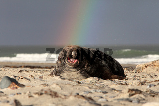Kegelrobbe mit Regenbogen