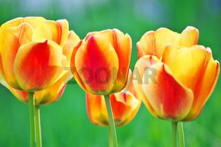 Farbenfrohe Tulpten