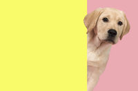 Portrait of a cute labrador retriever puppy on a pink background in a vertical image