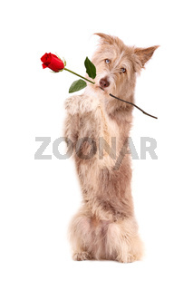 Dog with rose, isolated
